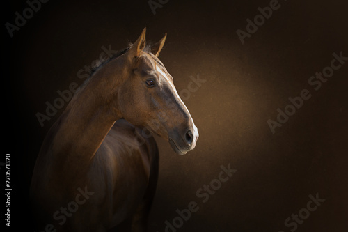 Foto op Canvas Paarden portrait of a akhal-take horse on the dark background