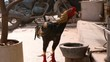Beautiful, colorful fighting cock is drinking water from a clay pot on the street Delhi, India