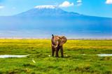 Fototapeta Sawanna - Elephant at Mount Kilimanjaro