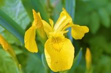 A Yellow Iris Flower.