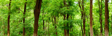 Panoramic View Of Green Broad Leaved Forest, Sophora Japonica Forest, A Leafy Shade Image
