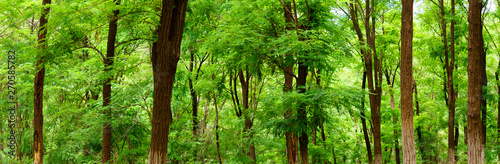 Photo panorama view of green broad leaved forest, Sophora japonica forest, a leafy sha