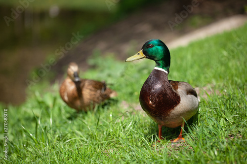 Fotografia one beautiful duck walks in the park