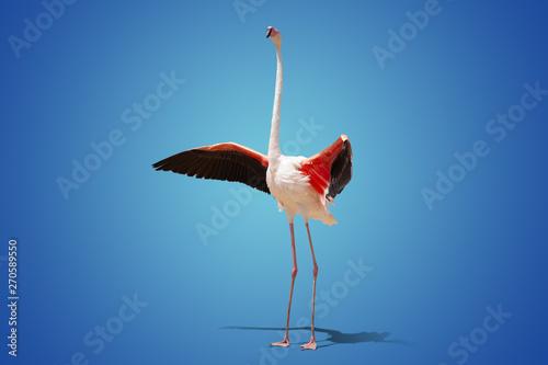 Garden Poster Flamingo beautiful pink flamingo posing on blue background