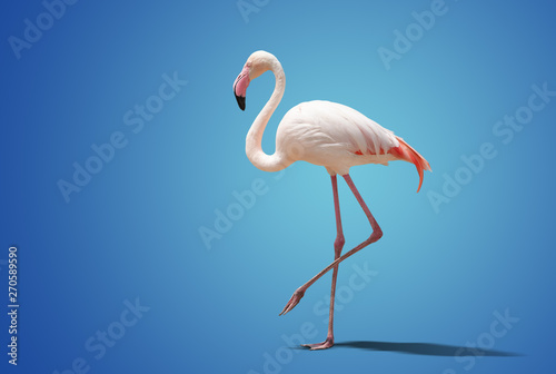 Spoed Foto op Canvas Flamingo beautiful pink flamingo posing on blue background