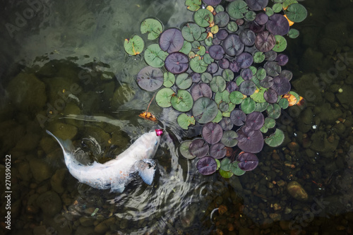 Poster de jardin Nénuphars big beautiful fish swim in a pond with water lilies, a quiet beautiful place to relax