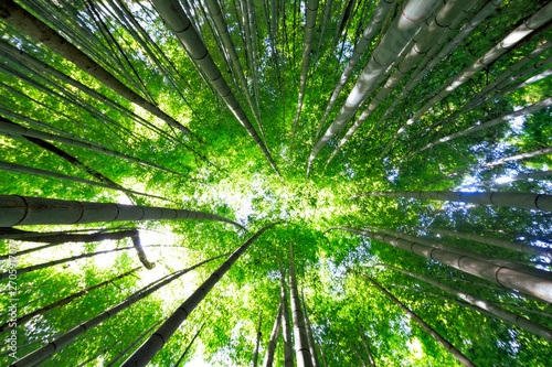 Fotografia  Japanese Wild Bamboo Forest in Spring Seen from Below