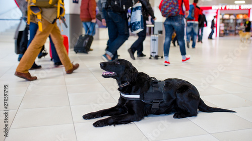 Drug detection black dog resting at the airport on the background of people Wallpaper Mural