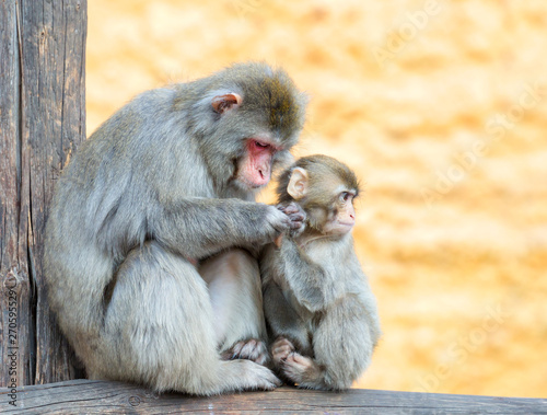 Japanese macaque. The female with the cub. Japanese macaques live in the northernmost regions of Japan, usually there is snow for four months in a row. In macaques, dense and warm fur, which is not te