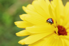Lady On Yellow Flower