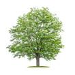Leinwanddruck Bild - Isolated  tree on a white background - Robinia pseudoacacia- False acacia