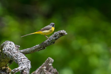Grey Wagtail On A Branch To Feed Chick In Sweden