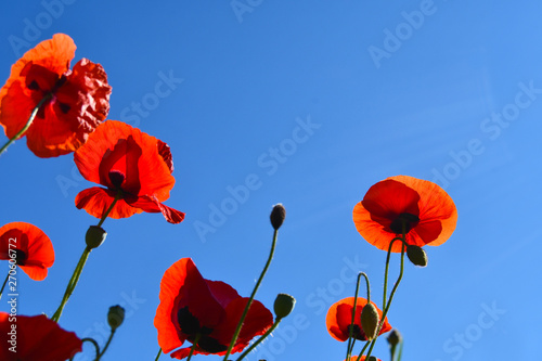 Canvas Prints Poppy Closeup of colorful flowers seen from below with the blue sky as background