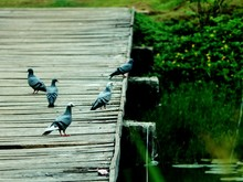Pigeons At The Deck