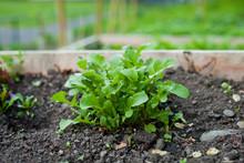 Arugula  -  Rocket Salad Lettuce Leaves Growing In The Vegetable Garden With Raised Beds.