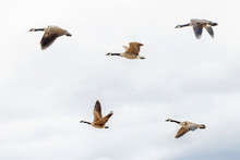 Flock Of Five Large Canadian Geese Ducks Flying Against Light Blue Sky With Clouds.