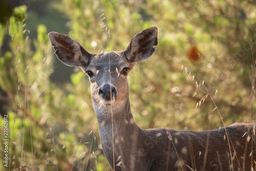 A Columbian Black-tailed deer doe (Odocoileus hemionus) in the hills of Monterey, California. The black-tail is a type of mule deer of the Pacific Northwest.