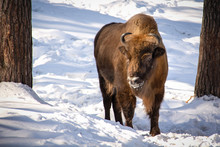 An Adult Bison Is Standing And...