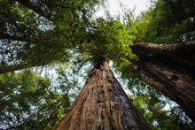 Redwoods 5