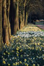 Spring Daffodils Growing Along...
