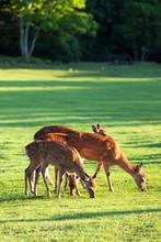 Flock Of Deer Grazing In The Morning Grassland