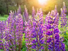 Beautiful Purple Lupin Flowers Blooms In The Field In Warm Sunshine.