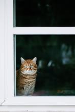 Big Ginger Cat Looks Straight At The Camera While Sitting Indoors Behind Glass Window