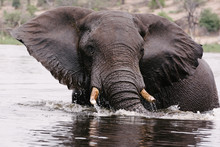 Free Living Elephant In River