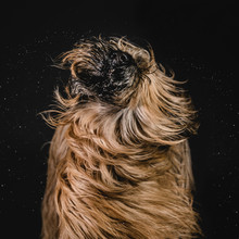 Shaking Briard Dog With Flying...