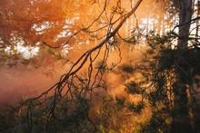 Pine Branches By Orange Fog