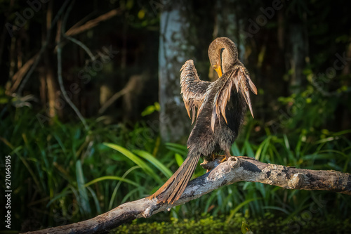 A juvenile Anhinga (Anhinga anhinga) is drying its wings in the sun on a log in the Silver River in Silver Springs State park in Florida Canvas Print