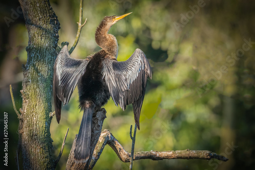 A female Anhinga (Anhinga anhinga) is drying her wings while perched on a log along the Silver River in Silver Springs State Park in Florida Wallpaper Mural