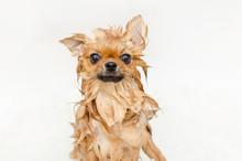 Funny Small Dog Pomeranian Puppy Taking A Bath