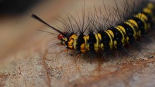 Black And Yellow Caterpillar C...