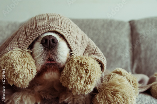 Fotografie, Tablou  SICK OR SCARED CAVALIER DOG COVERED WITH A WARM  TASSEL BLANKET