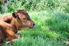 Calf Lying Down In Field