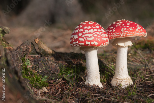 Photo  Two toadstools,  red white poisonous mushrooms in summer forest