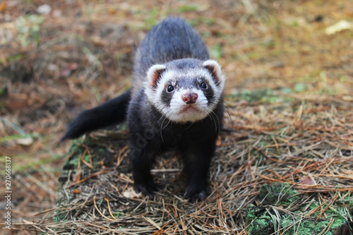 Fotografering Sable ferret posing on moss deep in summer forest