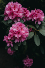 Pink Rhododendron Flowers In The Garden