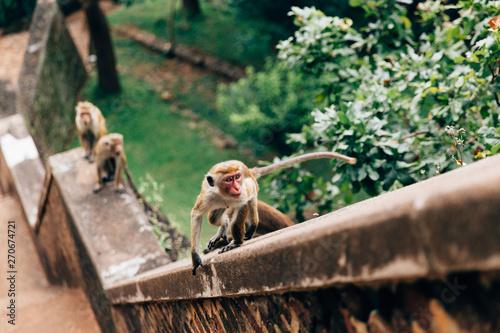 Fototapeta Small Monkeys Sitting On a Ledge in Sri Lanka