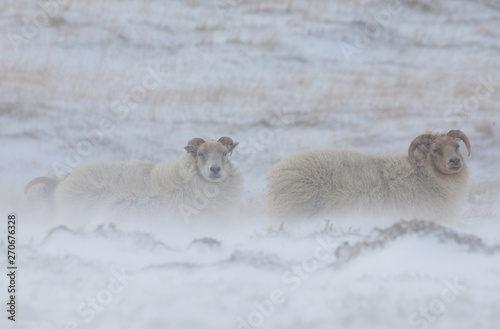 Foto op Canvas Schapen two sheeps in the snow Iceland