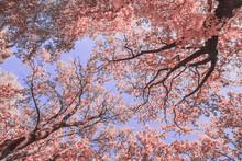 Infrared: Oak Tree Top