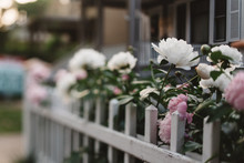 Peonies In A City Garden In The Spring Time