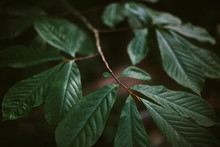 Close Up Of Dappled Sunlight On Leaves In Lush, Deciduous Forest, Washington DC, USA