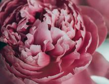 Layers Of Pink Peony Petals