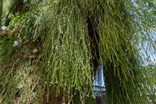 Rhipsalis Baccifera (mistletoe...