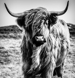 Highland Cow B&W - 270687722