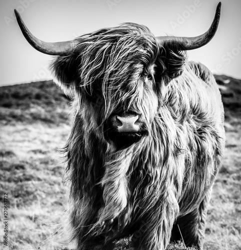 Montage in der Fensternische Kuh Highland Cow B&W