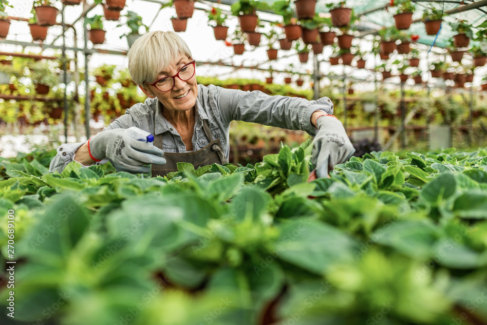 Fototapety, obrazy: Happy mature woman nourishing plants in flower greenhouse.