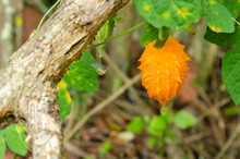 Balsam Pear Hanging From Vine